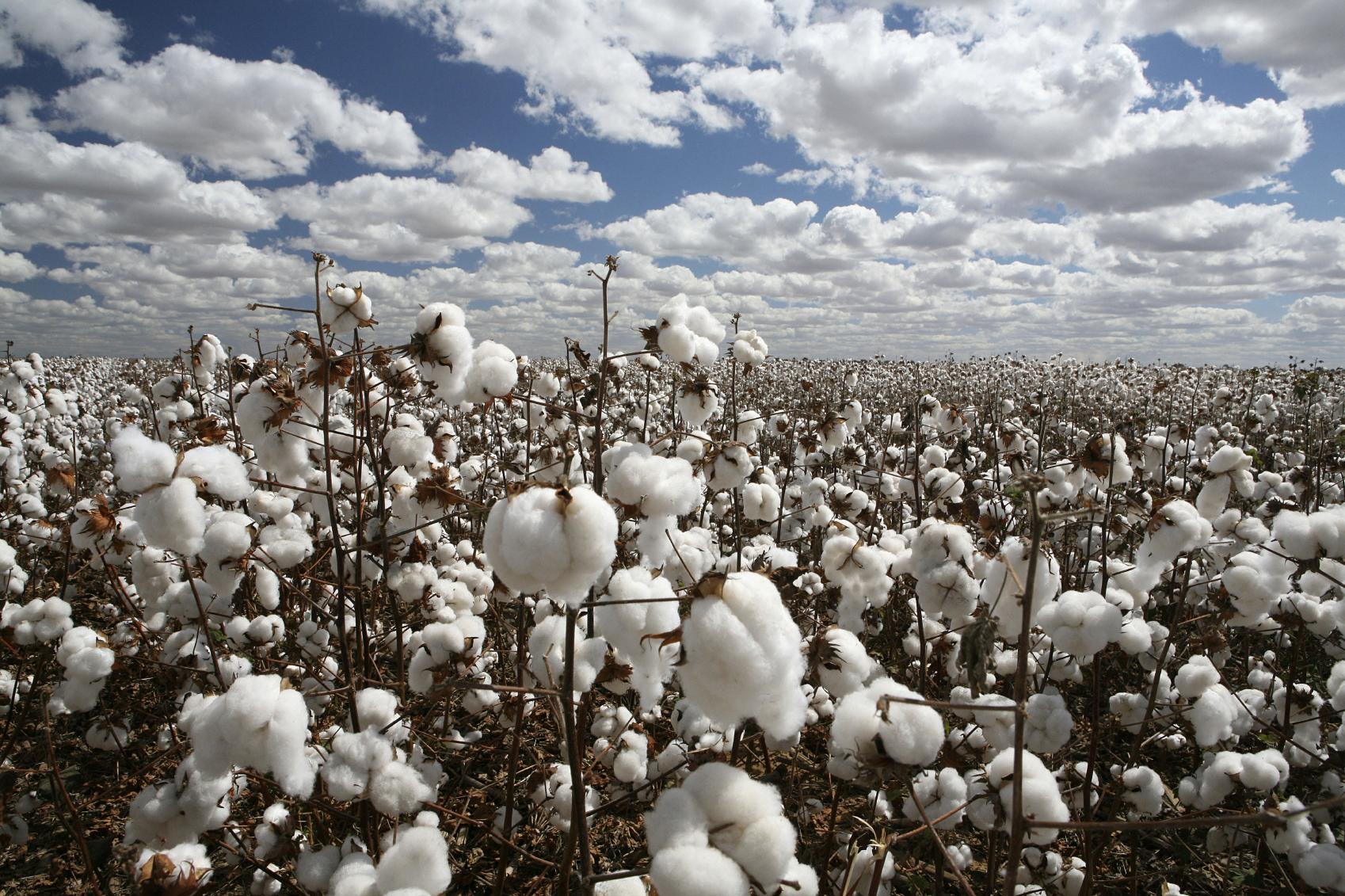 Cultivos de algodón