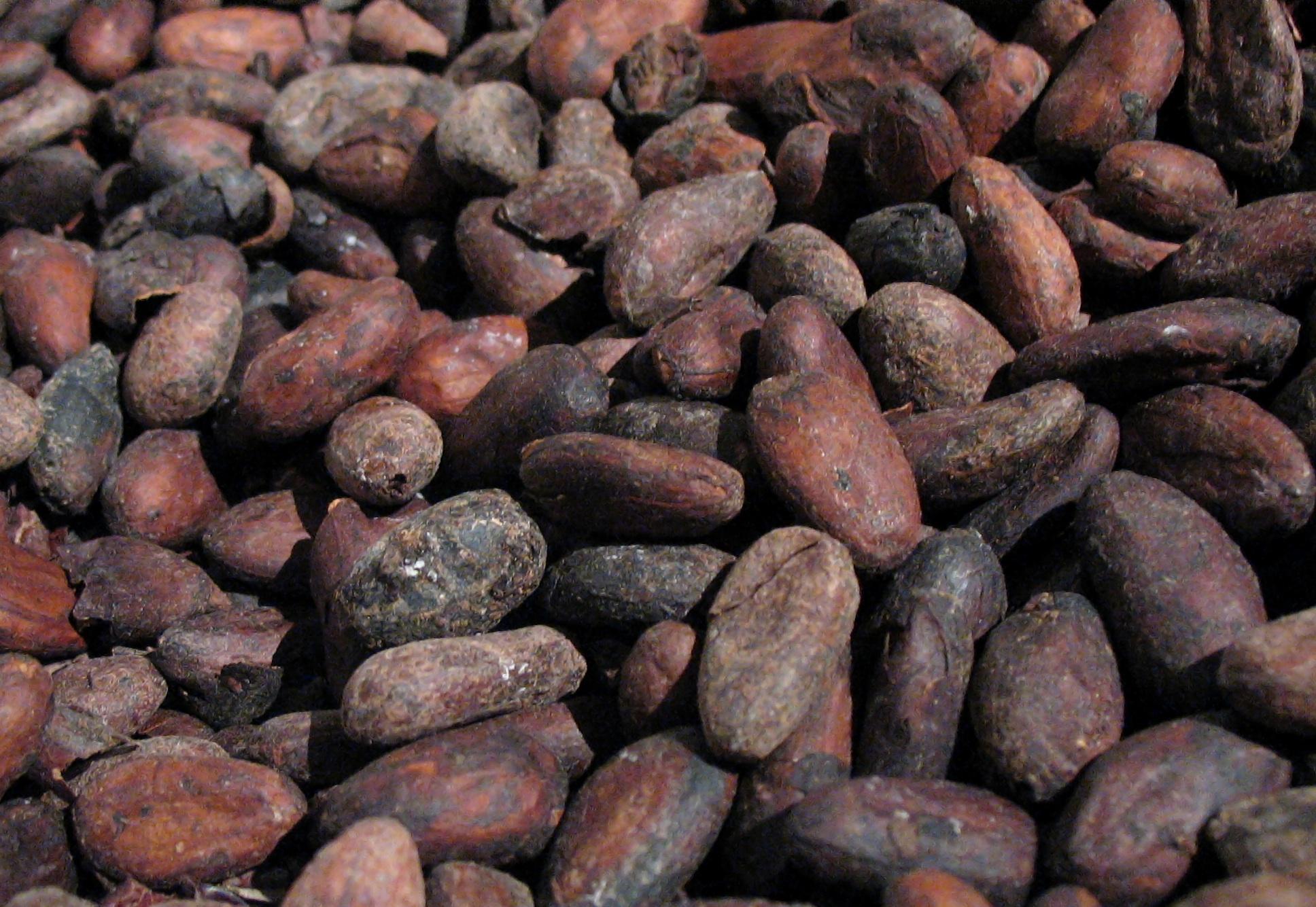 Exportan cacao colombiano a Inglaterra