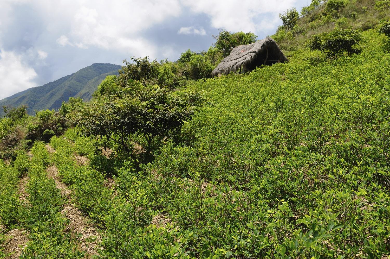 Cultivos de coca en Colombia