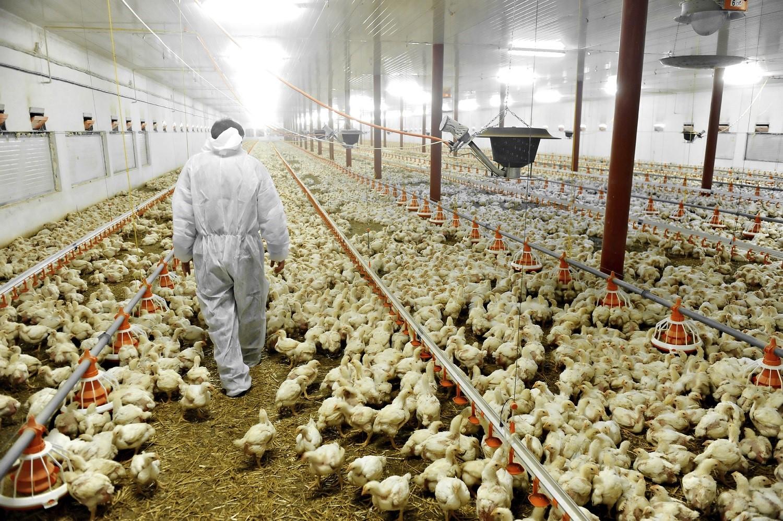 Las granjas avícolas necesitarán de un diagnóstico de micoplasmosis
