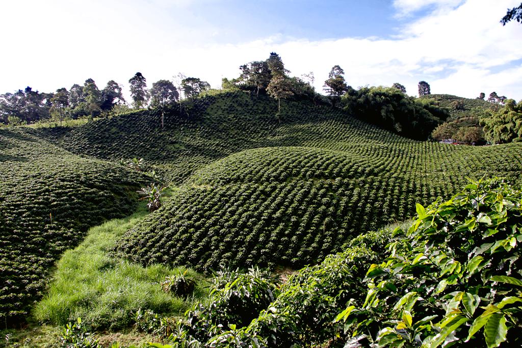 Cultivos de café se benefician con sistemas de riego