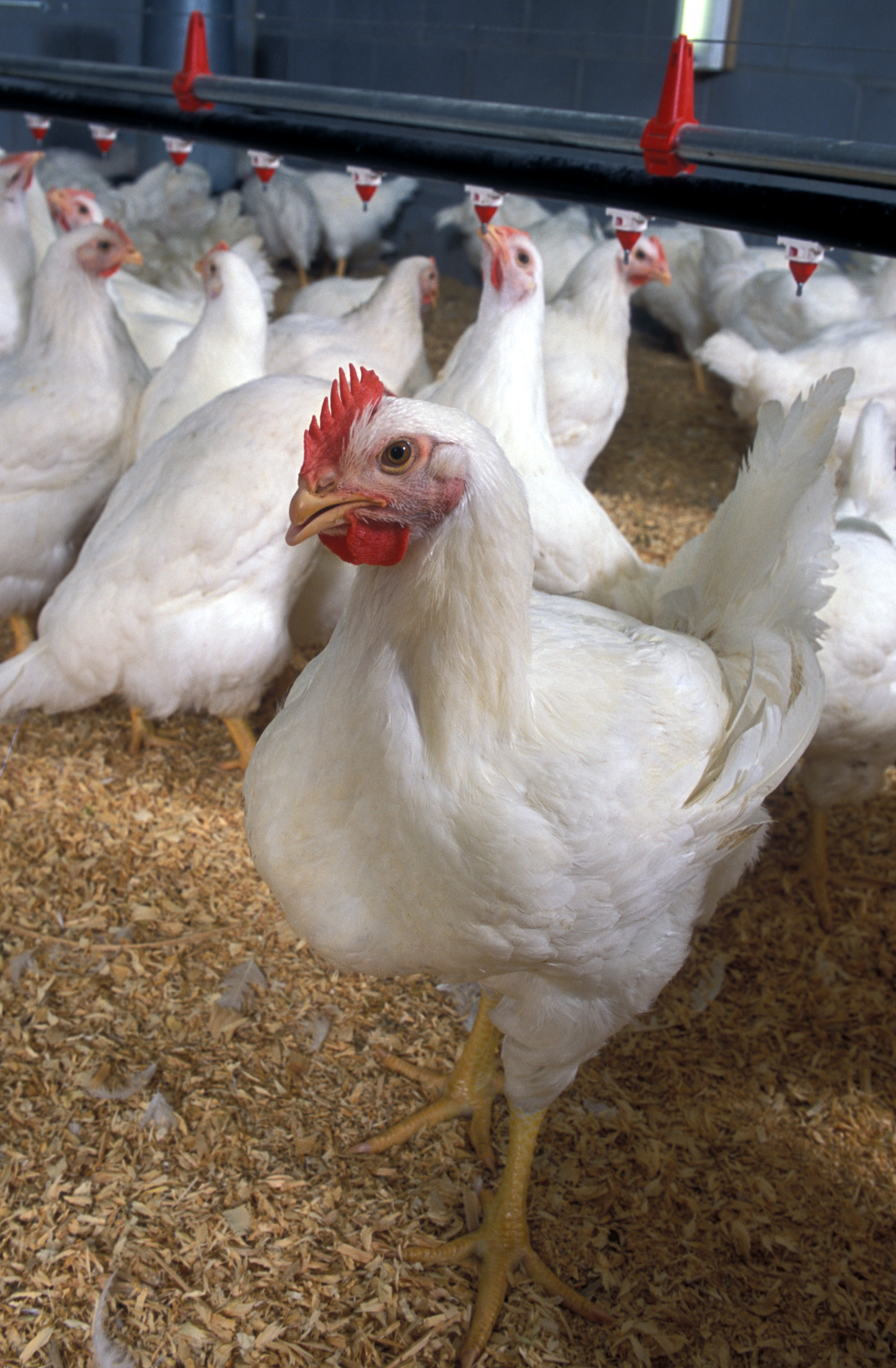 Vuelve la segunda maratón de información avícola