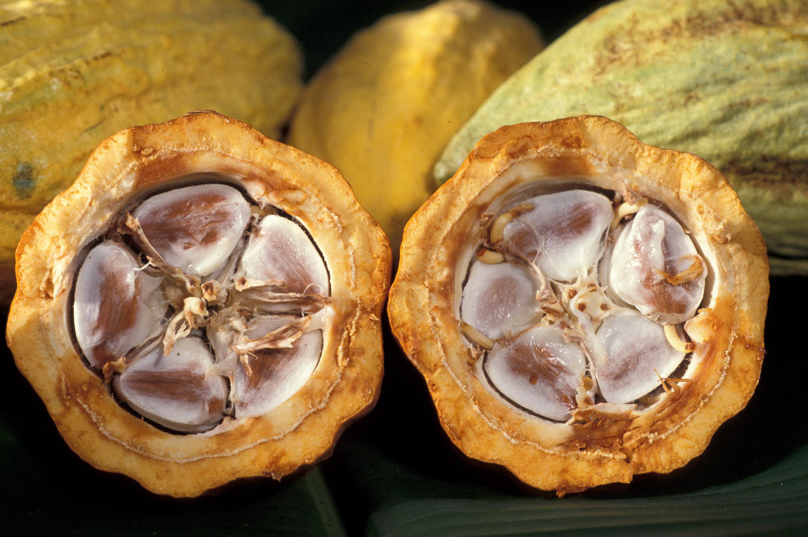 Gobierno entregará 20 mil clones de cacao
