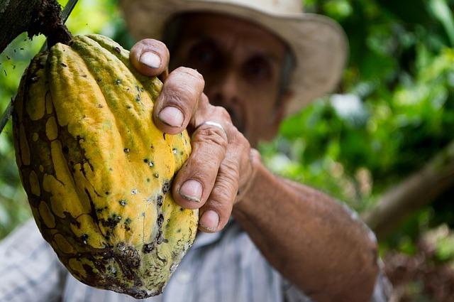 Convenio entre Corpoica y Fedecacao para rehabilitar cultivos de cacao