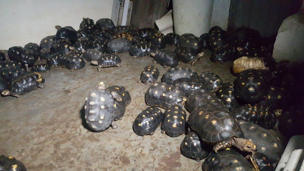tortugas morrocoy