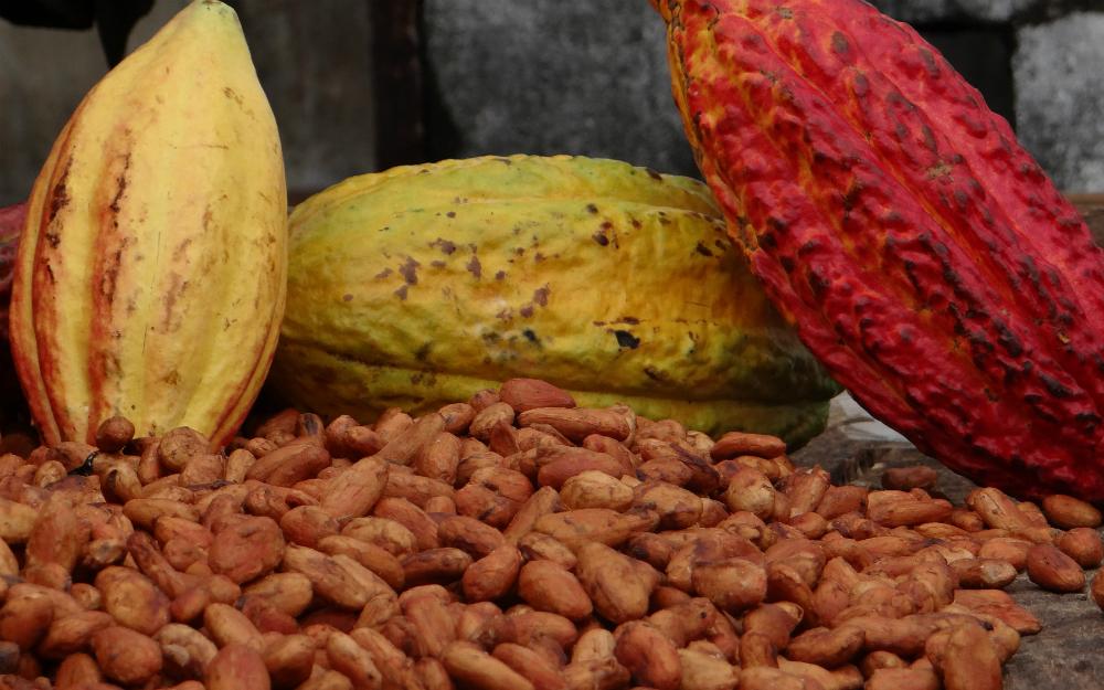 Cacaoteros le ganan batalla a cultivos il citos - La silla vacia ...